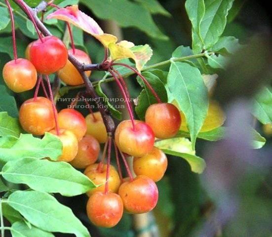 Яблоня райская декоративная Ред Сентинел (Malus Red Sentinel) Питомник декоративных растений Природа Priroda (4)