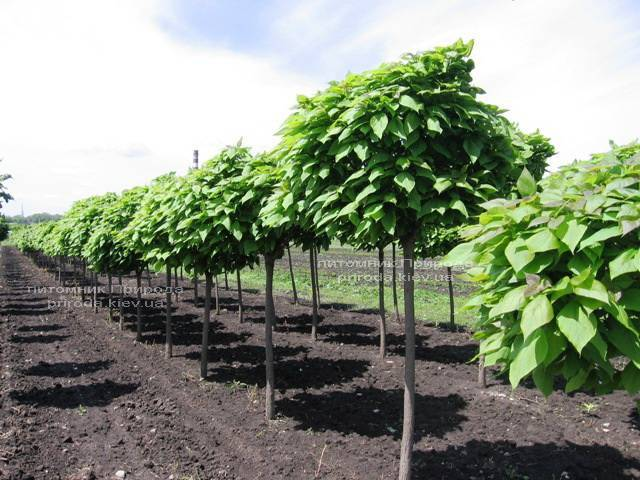 Катальпа бигнониевидная Нана (Catalpa bignoides Nana) на штамбе ФОТО Питомник растений Природа Priroda (2)