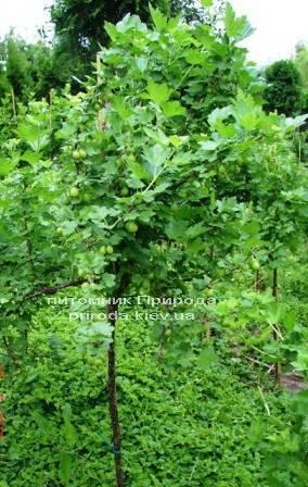 Агрус на штамбі ФОТО Розплідник рослин Природа Priroda (1)
