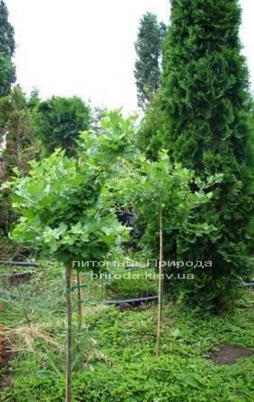 Агрус на штамбі ФОТО Розплідник рослин Природа Priroda (2)