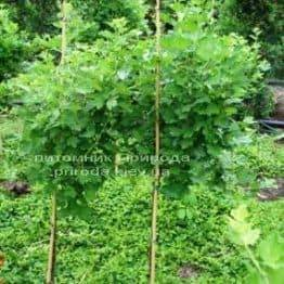 Агрус на штамбі ФОТО Розплідник рослин Природа Priroda (3)