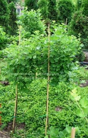 Крыжовник на штамбе ФОТО Питомник растений Природа Priroda (3)