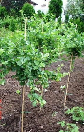 Крыжовник на штамбе ФОТО Питомник растений Природа Priroda (4)