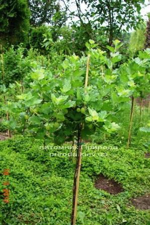 Агрус на штамбі ФОТО Розплідник рослин Природа Priroda (5)