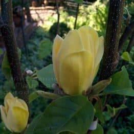 Магнолия бруклинская Еллоу Берд (Magnolia brooklynensis Yellow Bird) ФОТО Питомник растений Природа (Priroda) (14)