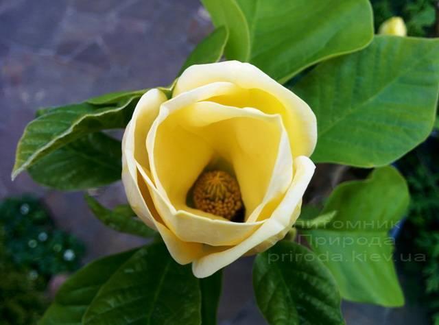 Магнолія бруклінська Еллоу Берд (Magnolia brooklynensis Yellow Bird) ФОТО Розплідник рослин Природа (Priroda) (15)