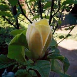 Магнолия бруклинская Еллоу Берд (Magnolia brooklynensis Yellow Bird) ФОТО Питомник растений Природа (Priroda) (19)