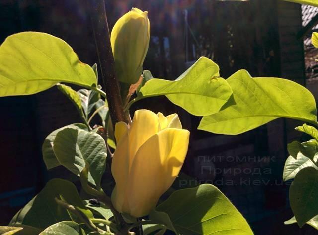 Магнолія бруклінська Еллоу Берд (Magnolia brooklynensis Yellow Bird) ФОТО Розплідник рослин Природа (Priroda) (20)