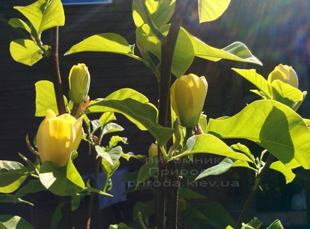 Магнолія бруклінська Еллоу Берд (Magnolia brooklynensis Yellow Bird) ФОТО Розплідник рослин Природа (Priroda) (21)