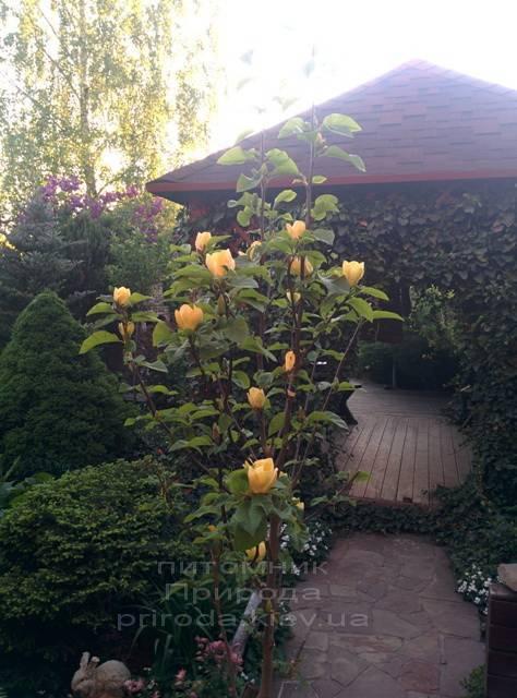 Магнолія бруклінська Еллоу Берд (Magnolia brooklynensis Yellow Bird) ФОТО Розплідник рослин Природа (Priroda) (22)