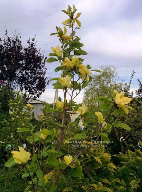 Магнолія Дафні (Magnolia Daphne) ФОТО Розплідник рослин Природа (Priroda) (32)