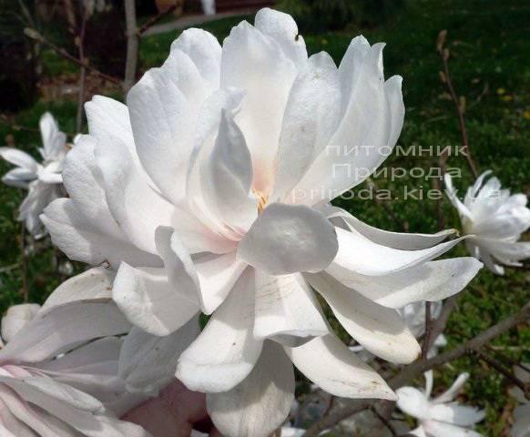 Магнолия Лебнера Вилдкэт (Magnolia loebneri Wildcat) ФОТО Питомник растений Природа Priroda (40)