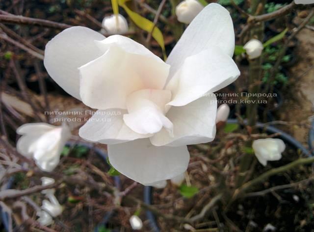 Магнолия Лебнера Меррилл (Magnolia Loebneri Merrill) ФОТО Питомник растений Природа Priroda (35)