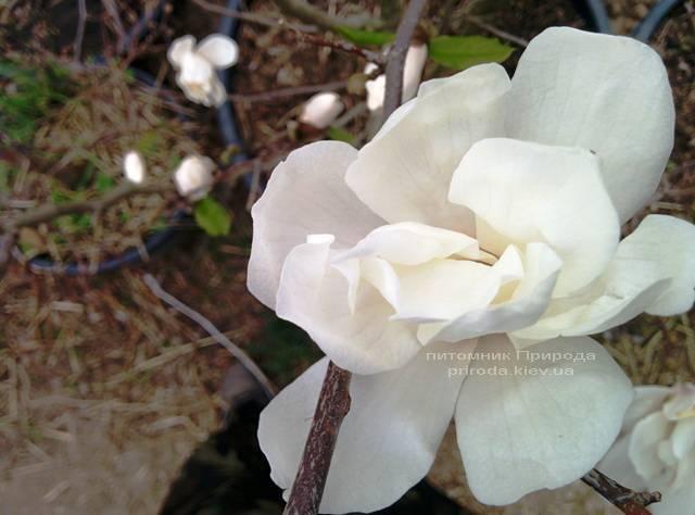 Магнолия Лебнера Меррилл (Magnolia Loebneri Merrill) ФОТО Питомник растений Природа Priroda (36)