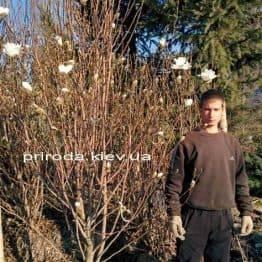 Магнолия Суланжа Специоза (Magnolia soulangeana Speciosa) ФОТО Питомник растений Природа (5)
