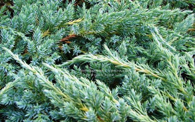 Можжевельник чешуйчатый Блу Карпет (Juniperus squamata Blue Carpet) ФОТО Питомник декоративных растений Природа (85)