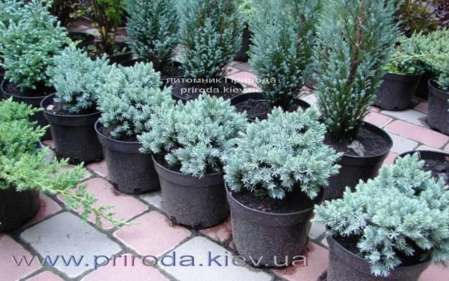 Можжевельник чешуйчатый Блю Стар (Juniperus squamata Blue Star) ФОТО Питомник декоративных растений Природа (87)