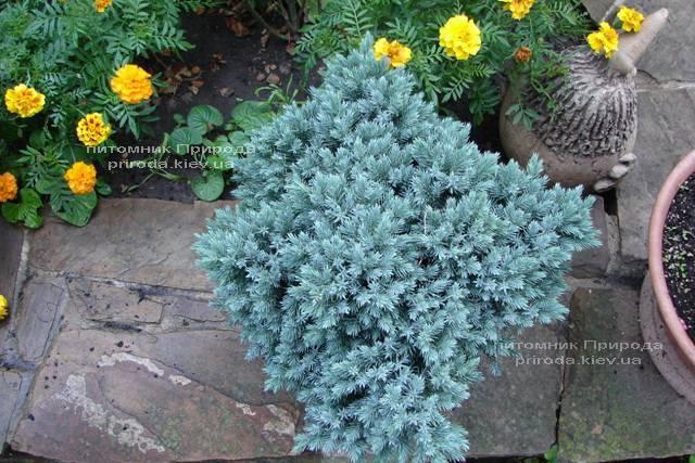 Ялівець лускатий Блю Стар (Juniperus squamata Blue Star) ФОТО Розплідник рослин Природа Priroda (88)