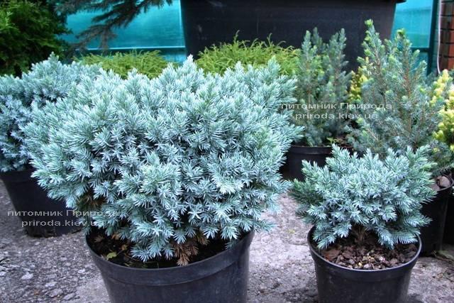 Можжевельник чешуйчатый Блю Стар (Juniperus squamata Blue Star) ФОТО Питомник декоративных растений Природа (91)