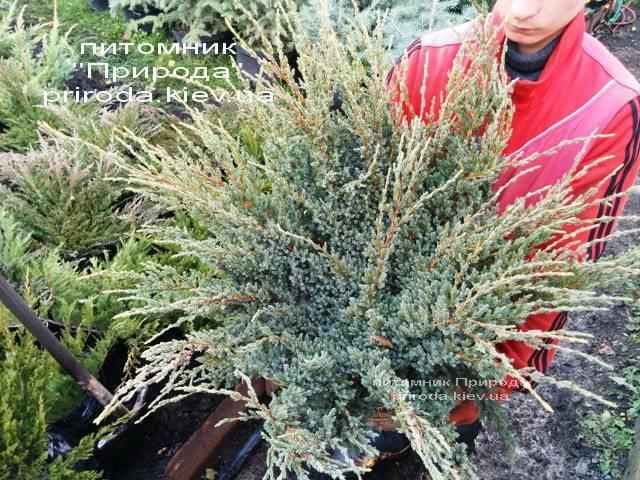 Можжевельник чешуйчатый Холгер (Juniperus squamata Holger) ФОТО Питомник декоративных растений Природа (Priroda) (13)