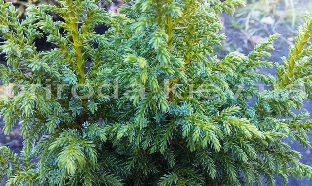 Ялівець лускатий Лодер (Juniperus squamata Loderi) ФОТО Розплідник декоративних рослин Природа (Priroda) (55)