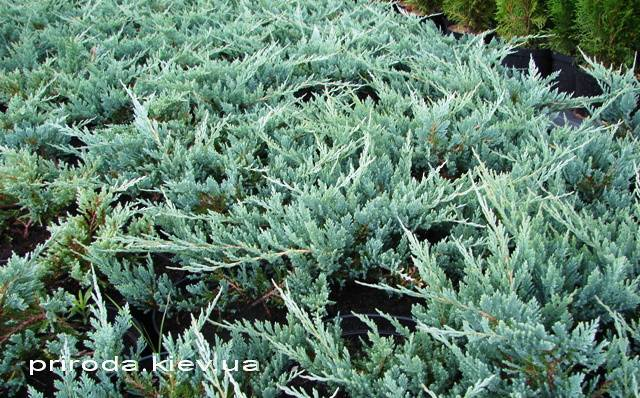 Можжевельник горизонтальный Блю Чип / Блу Чип (Juniperus horizontalis Blue Chiр) ФОТО Питомник декоративных растений Природа (74)