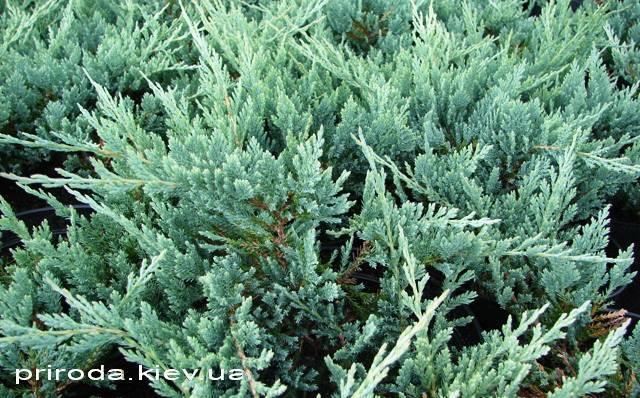 Ялівець горизонтальний Блю Чіп / Блу Чіп (Juniperus horizontalis Blue Chiр) ФОТО Розплідник декоративних рослин Природа Priroda (73)