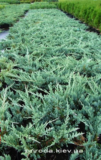 Ялівець горизонтальний Блю Чіп / Блу Чіп (Juniperus horizontalis Blue Chiр) ФОТО Розплідник рослин Природа Priroda (72)