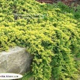 Можжевельник горизонтальный Голден Карпет (Juniperus horizontalis Golden Carpet) ФОТО Питомник растений Природа Priroda (75)
