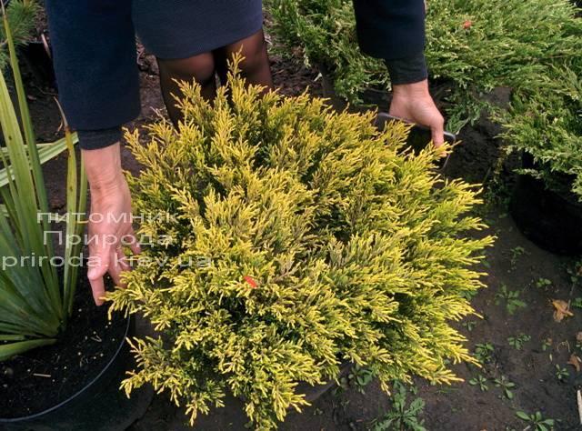 Можжевельник горизонтальный Лаймглоу (Juniperus horizontalis Limeglow) ФОТО Питомник декоративных растений Природа (65)