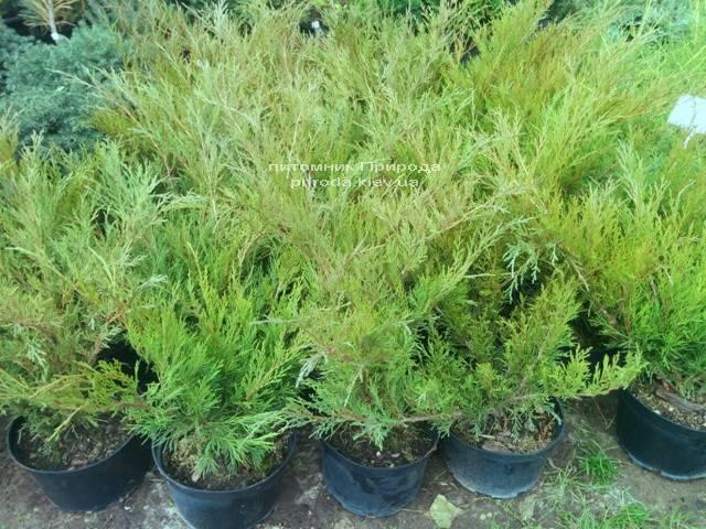 Ялівець козацький Блю Спаркл (Juniperus sabina Blue Sparkle) ФОТО Розплідник декоративних рослин Природа Priroda (53)