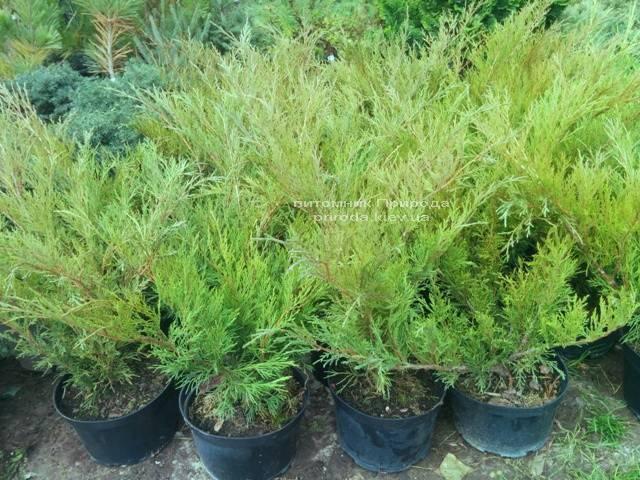 Ялівець козацький Блю Спаркл (Juniperus sabina Blue Sparkle) ФОТО Розплідник декоративних рослин Природа (51)
