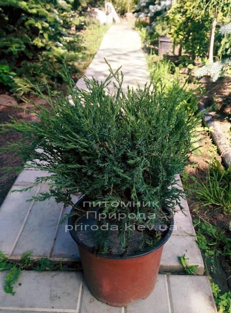 Можжевельник казацкий Глаука (Juniperus sabina Glauca) ФОТО Питомник декоративных растений Природа (Priroda) (50)