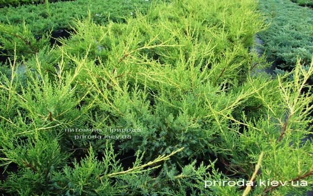 Можжевельник китайский Куривао Голд (Juniperus chinensis Kuriwao Gold) ФОТО Питомник декоративных растений Природа (39)