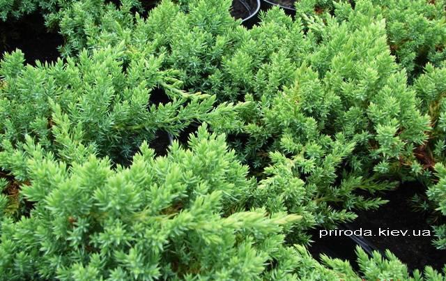Можжевельник лежачий Нана (Juniperus procumbens Nana) ФОТО Питомник декоративных растений Природа Priroda (62)