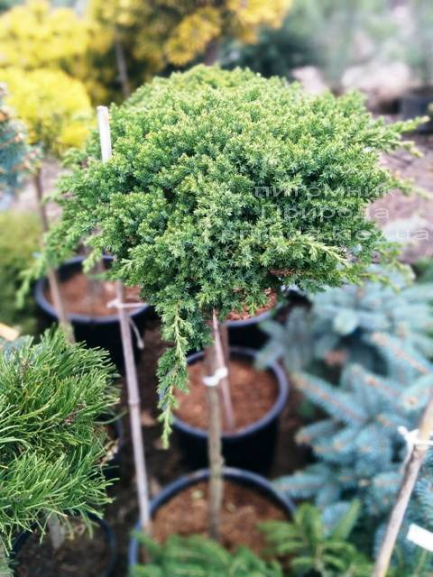 Можжевельник лежачий Нана (Juniperus procumbens Nana) на штамбе ФОТО Питомник растений Природа Priroda (57)