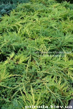 Можжевельник средний Пфитцериана Ауреа (Juniperus media Pfitzeriana Aurea) ФОТО Питомник декоративных растений Природа Priroda (38)
