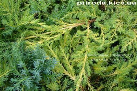 Можжевельник средний Пфитцериана Ауреа (Juniperus media Pfitzeriana Aurea) ФОТО Питомник декоративных растений Природа (36)
