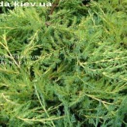 Можжевельник средний Пфитцериана Ауреа (Juniperus media Pfitzeriana Aurea) ФОТО Питомник декоративных растений Природа Priroda (35)
