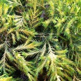 Можжевельник средний Голд Киссен (Juniperus media Goldkissen) ФОТО Питомник растений Природа (Priroda) (18)