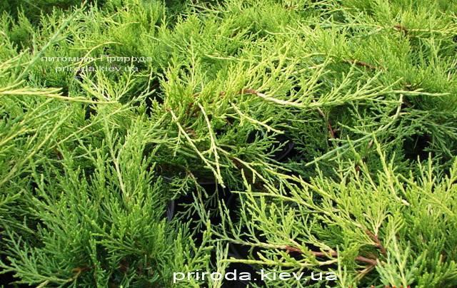 Можжевельник средний / пфитцериана Олд Голд (Juniperus media / pfitzeriana Old Gold) ФОТО Питомник растений Природа (Priroda) (25)
