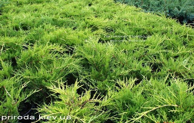 Можжевельник средний / пфитцериана Олд Голд (Juniperus media / pfitzeriana Old Gold) ФОТО Питомник растений Природа (Priroda) (26)