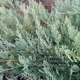 Ялівець віргінський Грей Оул (Juniperus virginiana Grey Owl) ФОТО Розплідник декоративних рослин Природа (42)