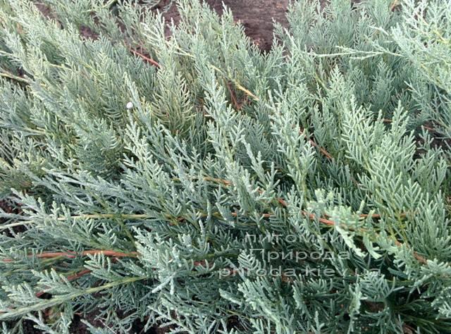 Можжевельник виргинский Грей Оул (Juniperus virginiana Grey Owl) ФОТО Питомник декоративных растений Природа (42)