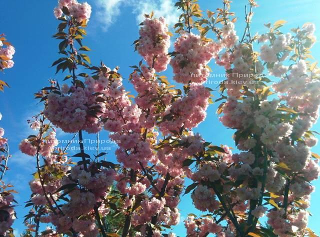 Сакура Канзан (Вишня мелкопильчатая) (Prunus serrulata Kanzan) ФОТО Питомник растений Природа (7)