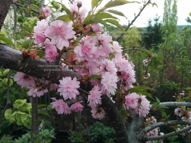 Сакура Канзан (Вишня мелкопильчатая) (Prunus serrulata Kanzan) ФОТО Питомник растений Природа (9)
