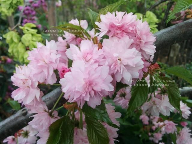 Сакура Канзан (Вишня мелкопильчатая) (Prunus serrulata Kanzan) ФОТО Питомник растений Природа (12)
