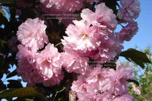 Сакура Канзан (Вишня мелкопильчатая) (Prunus serrulata Kanzan) ФОТО Питомник растений Природа (1)