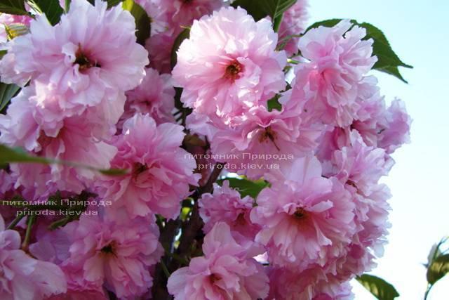 Сакура Канзан (Вишня мелкопильчатая) (Prunus serrulata Kanzan) ФОТО Питомник растений Природа (4)