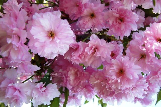 Сакура Канзан (Вишня мелкопильчатая) (Prunus serrulata Kanzan) ФОТО Питомник растений Природа (10)